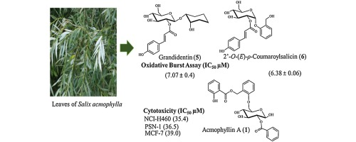 Cytotoxic and anti-inflammatory salicin glycosides from