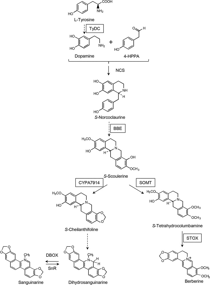 Early Developmental Onset Of Alkaloid Biosynthesis In Mexican Poppy