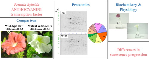 Proteomics of red and white corolla limbs in petunia reveals a novel graphical abstract ccuart Choice Image