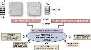Proteasome-mediated remodeling of the proteome and