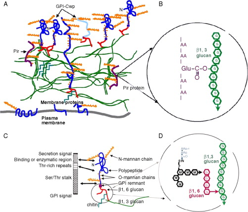 Chapter 15 gpi proteins in biogenesis and structure of yeast cell model of yeast cell wall 32 modified with permission a overall model b structure of the protein13 glucan crosslink for a pir protein ccuart Gallery