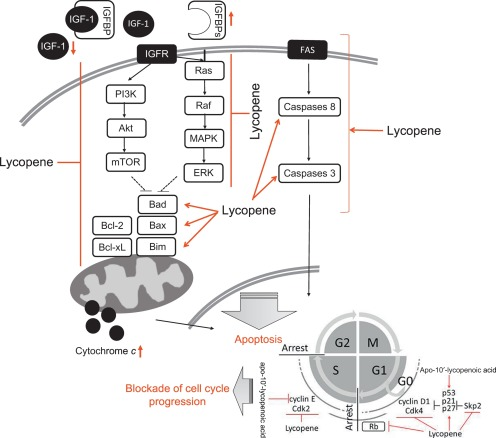 Mechanism of the Anticancer Effect of Lycopene