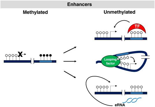 Intragenic dna methylation in transcriptional regulation normal download high res image 212kb malvernweather Choice Image