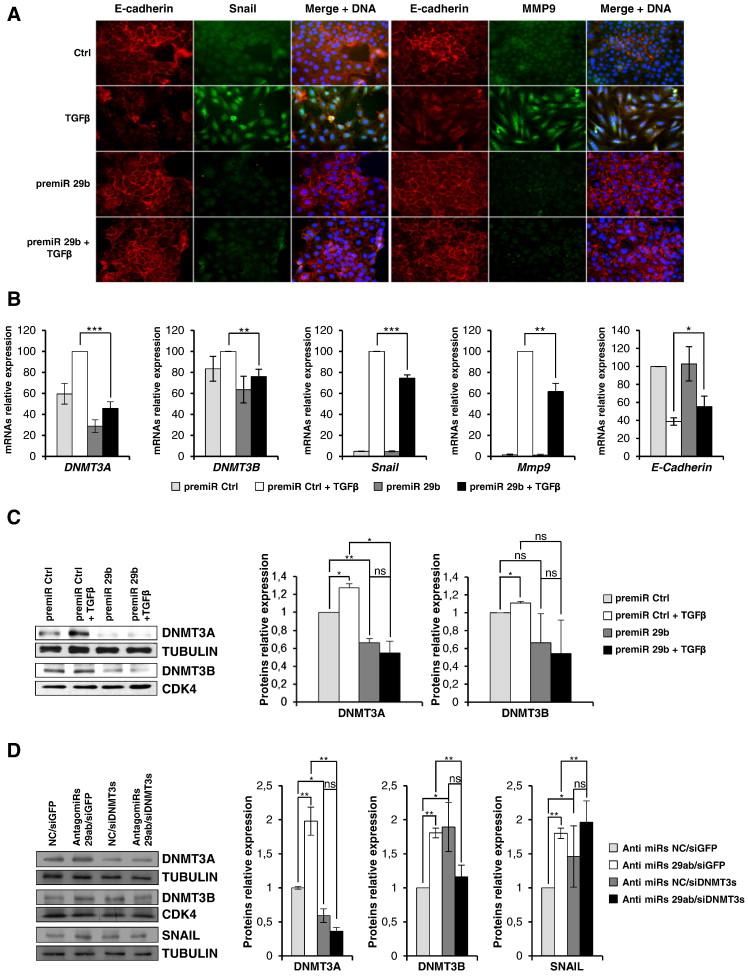 Epigenetic Control Of EMT MET Dynamics HNF4 Impacts DNMT3s Through