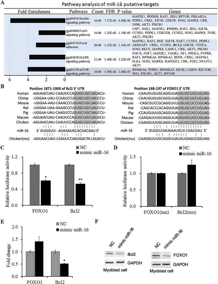 miR-16 controls myoblast proliferation and apoptosis through