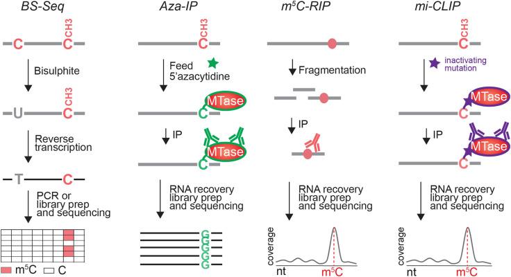 Post-transcriptional regulation by cytosine-5 methylation of