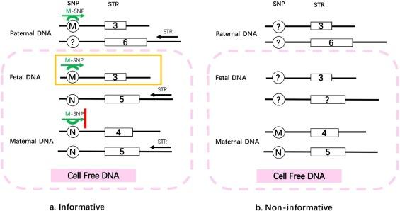 SNP-STR analysis for non-invasive paternity test for fetus