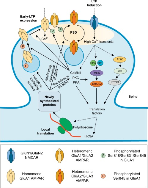 ampa receptors as therapeutic targets for neurological disorders