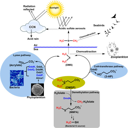 Dimethylsulfoniopropionate