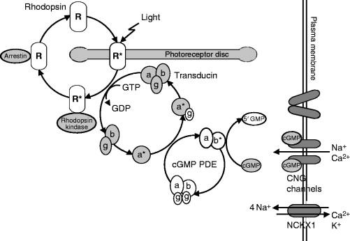 Chapter 1 Rhodopsinmediated Retinitis Pigmentosa