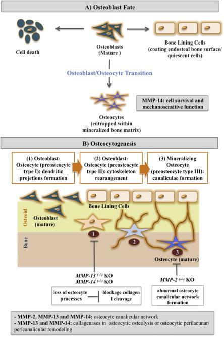 Matrix Metalloproteinases in Bone Resorption c030bfce8a0