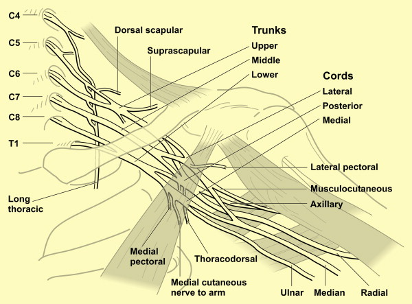 The Anatomy Investigations And Management Of Adult Brachial Plexus
