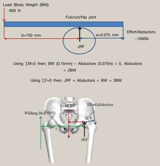 Basic Biomechanics Of The Hip Sciencedirect