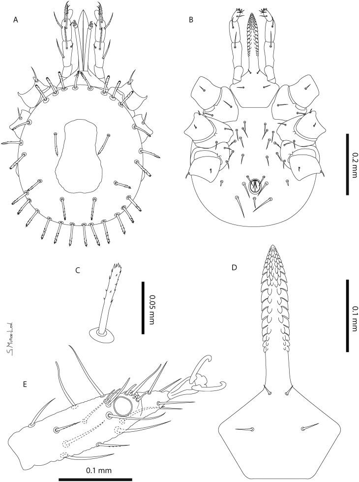 Description Of A New Soft Tick Species Acari Argasidae