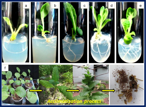 Nanobiotechnology approach using plant rooting hormone