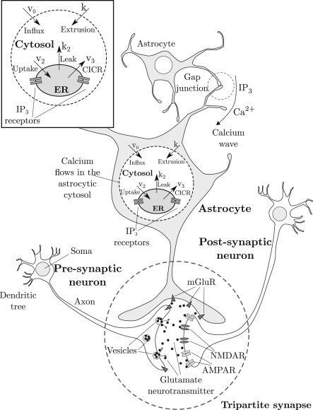 Astrocyteneuron communication as cascade of equivalent circuits schematic diagram of the tripartite synapse astrocyte calcium ions flow into the cytosol from internal ip3calcium sensitive store activated by the ccuart