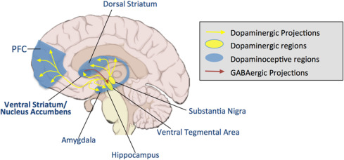 Image result for ventral striatum