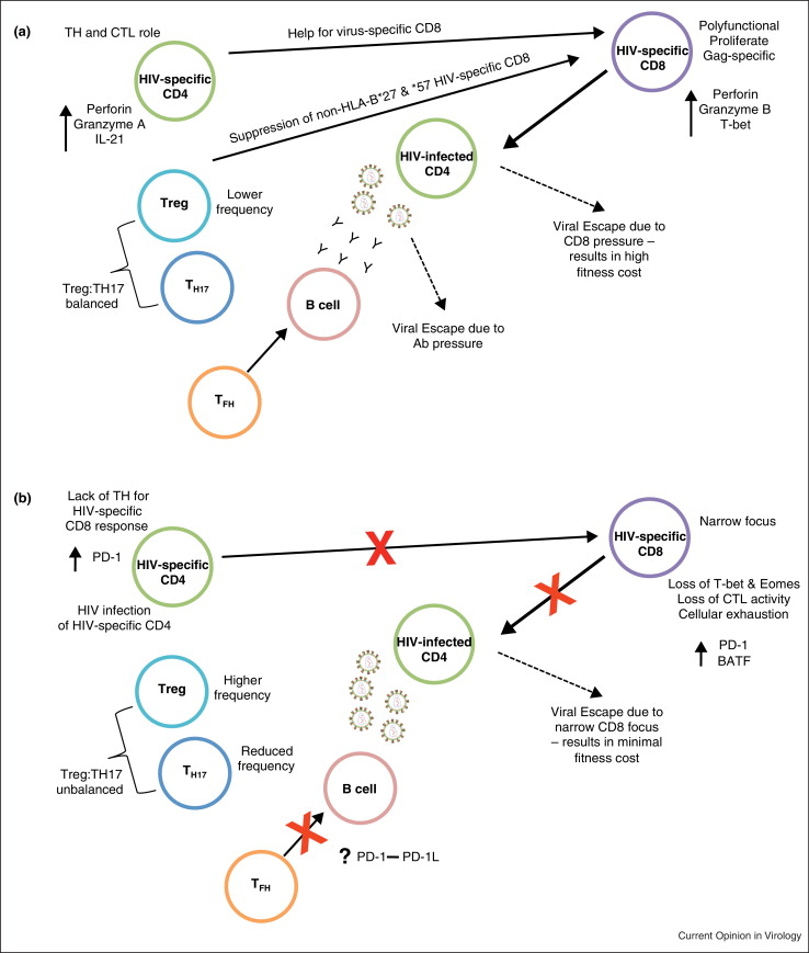The Role Of T Cell Immunity In Hiv 1 Infection