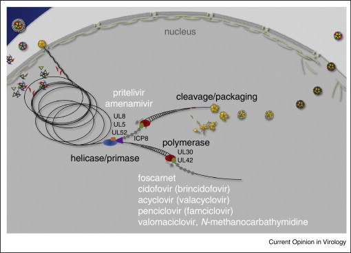 Current and future therapies for herpes simplex virus