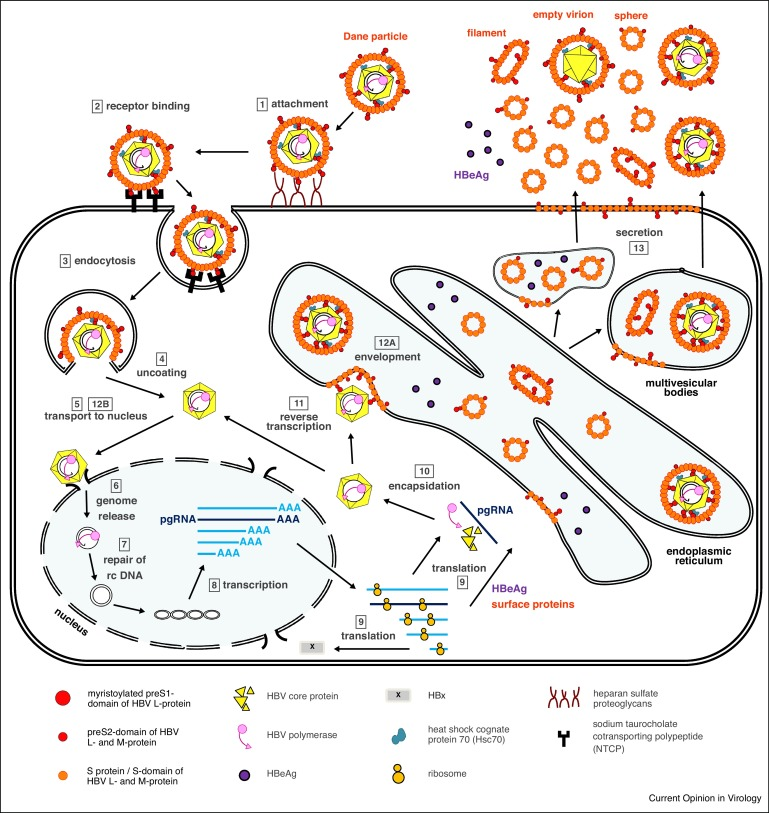 Novel viral and host targets to cure hepatitis B - ScienceDirect