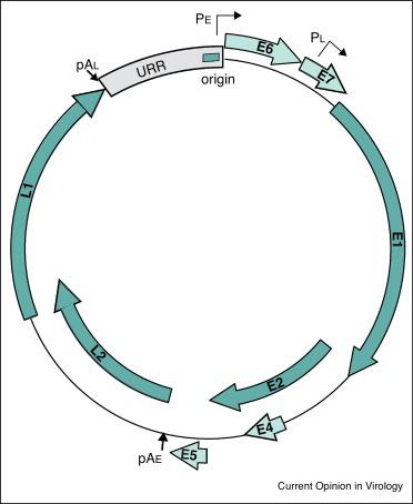 Human papillomavirus hpv genome