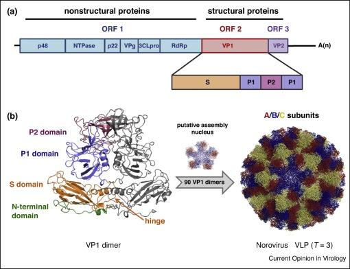 norovirus virus like particles