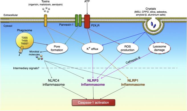 The Caspase-1 Inflammasome: A Pilot of Innate Immune Responses