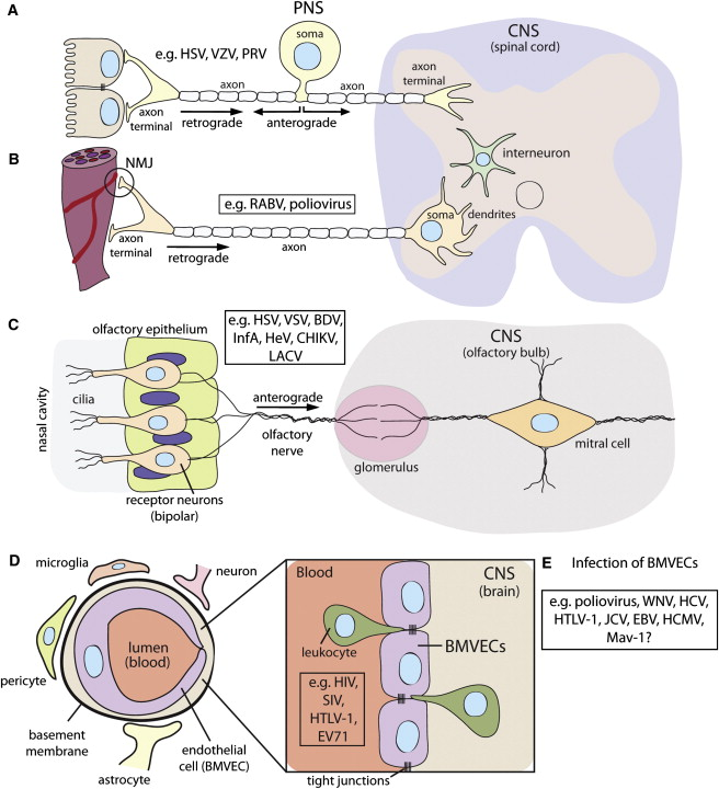 Virus Infections In The Nervous System Sciencedirect