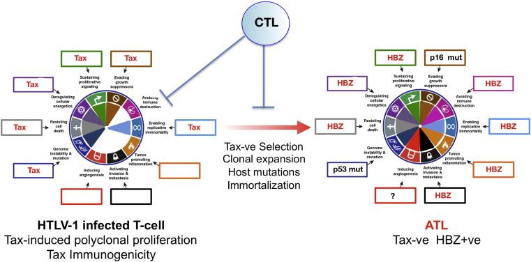 Humán papillomavírus onkogenezise Aktuális kvíz