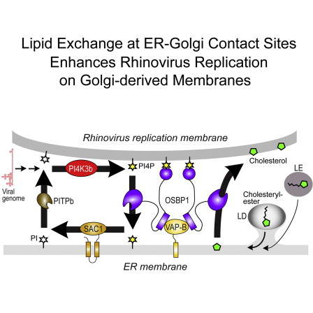 Rhinovirus Uses A Phosphatidylinositol 4 Phosphate Cholesterol Counter Current For The Formation Of Replication Compartments At The Er Golgi Interface Sciencedirect