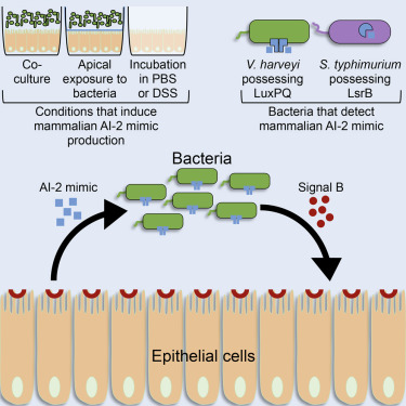 A Host-Produced Autoinducer-2 Mimic Activates Bacterial
