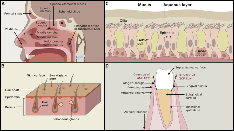 The Landscape Ecology And Microbiota Of The Human Nose Mouth And