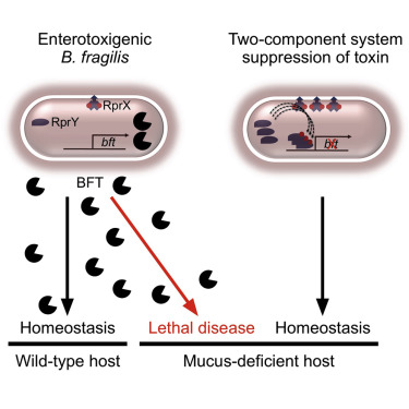A Two Component System Regulates Bacteroides Fragilis Toxin To Maintain Intestinal Homeostasis And Prevent Lethal Disease Sciencedirect