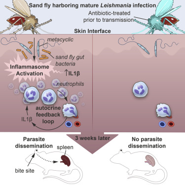 Gut Microbes Egested During Bites Of Infected Sand Flies Augment Severity Of Leishmaniasis Via Inflammasome Derived Il 1b Sciencedirect