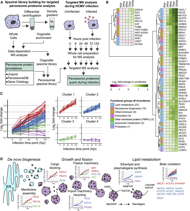 Infection-Induced Peroxisome Biogenesis Is a Metabolic