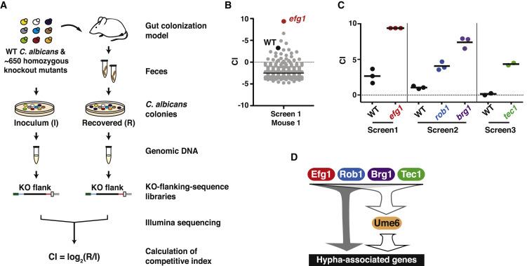 Candida albicans Morphogenesis Programs Control the Balance between