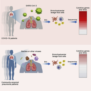 Heightened Innate Immune Responses in the Respiratory Tract of COVID-19  Patients - ScienceDirect