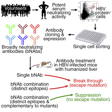 A Combination Of Human Broadly Neutralizing Antibodies Against