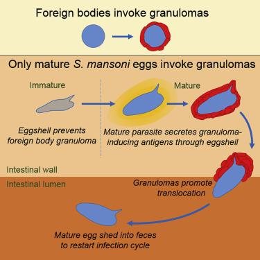 schistosomiasis hypersensitivity
