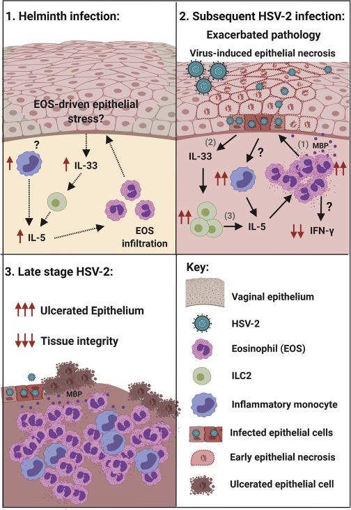 helminth infection pathology