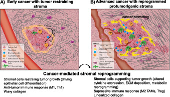 The Double Edge Sword Of Fibrosis In Cancer Sciencedirect