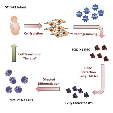 Lymphoid Regeneration from Gene-Corrected SCID-X1 Subject-Derived ...