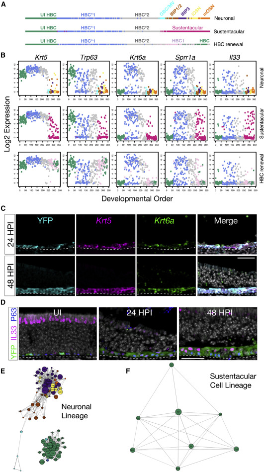 Injury Activates Transient Olfactory Stem Cell States with