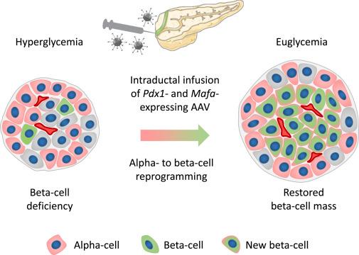 diabetes cure beta cells