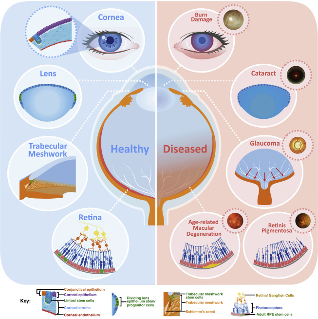 Regenerating Eye Tissues to Preserve and Restore Vision