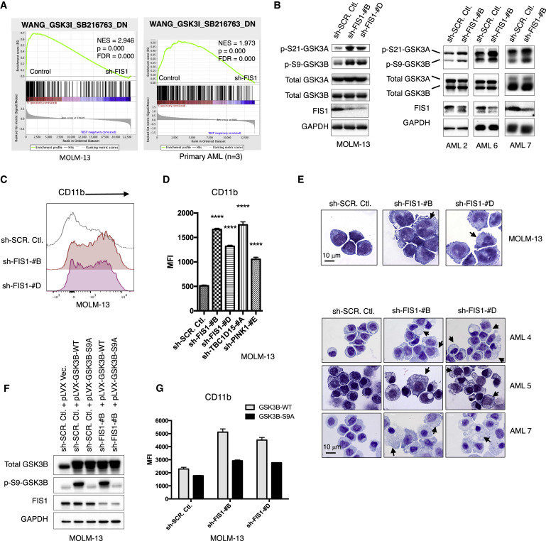 AMPK/FIS1-Mediated Mitophagy Is Required for Self-Renewal of