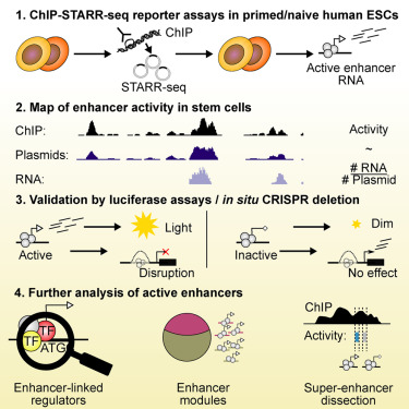 Functional Dissection of the Enhancer Repertoire in Human