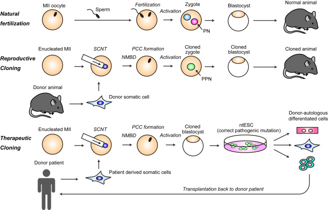 somatic cell nuclear transplant