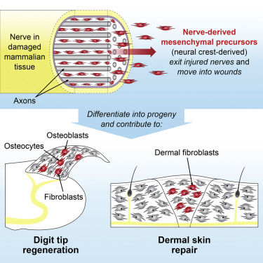 Mesenchymal Precursor Cells in Adult Nerves Contribute to