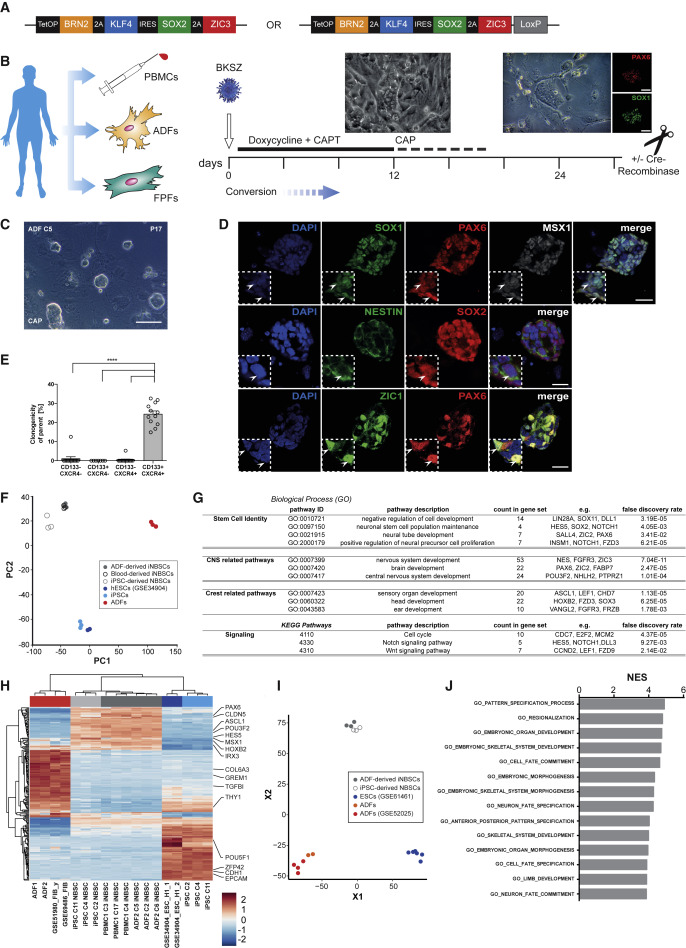 Identification of Embryonic Neural Plate Border Stem Cells